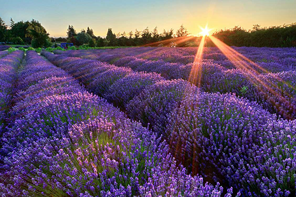 Lavender Field in Sequim